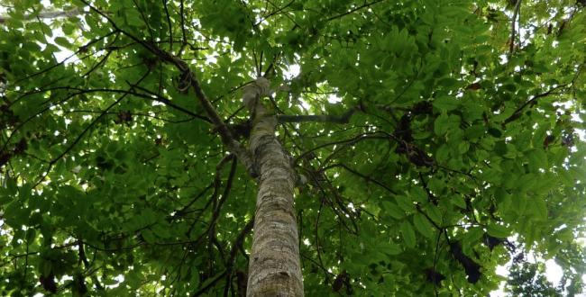 Selva Lacandona Arbol-caoba